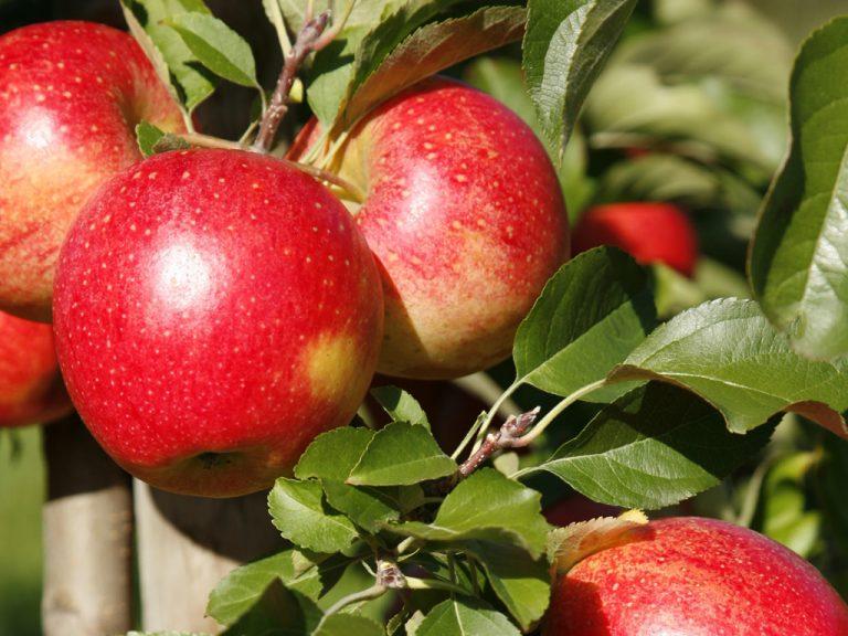 Äpfel